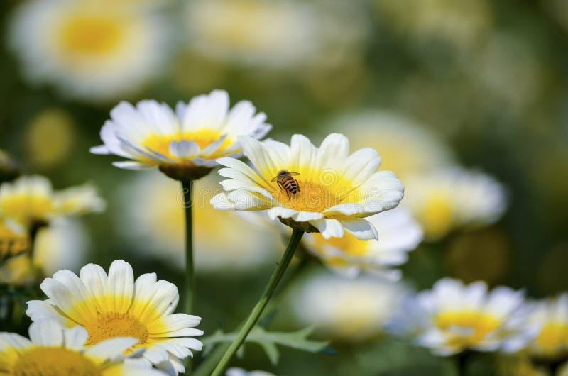 Honey Bee die naar voedsel in gele kern van een witte bloembloemblaadjes zoeken in een tuin met toneelschoonheid stock foto