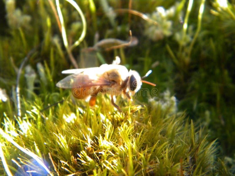 Honey Bee Drone image stock