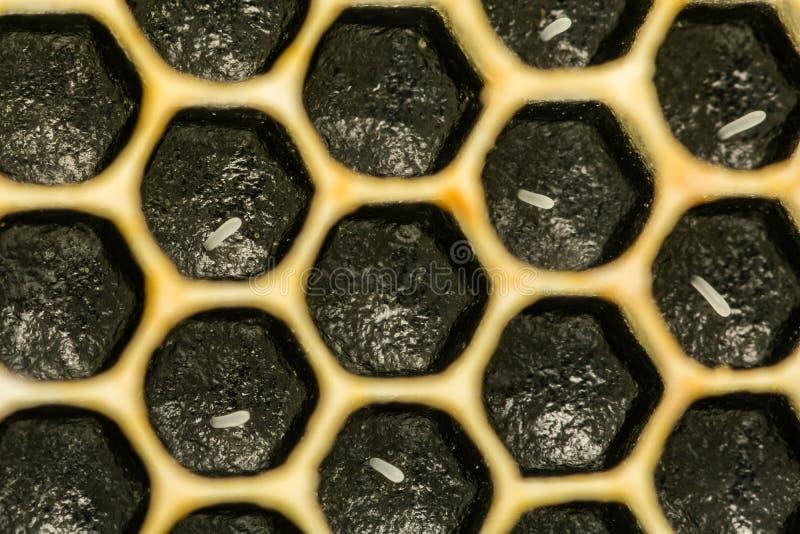 Honey Bee Eggs immagine stock libera da diritti