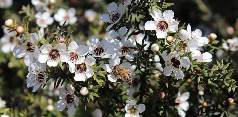 Honey Bee en la flor de Manuka foto de archivo