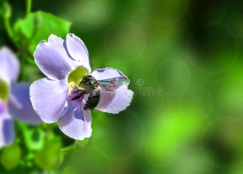 Honey Bee en una flor azul de la vid de trompeta en fondo verde borroso imagen de archivo libre de regalías