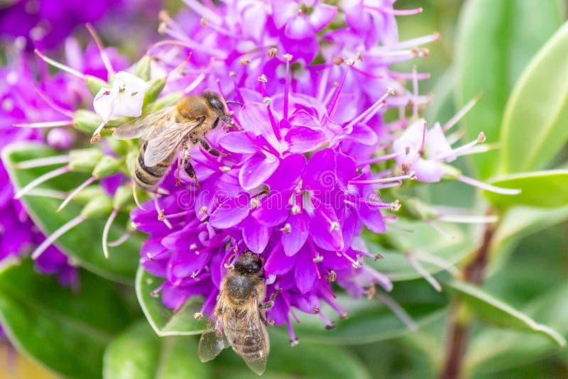 Honey Bee Feeding on Bright Purple Hebe Flowers, Gisborne, Victoria, Australia, December 2018 royalty free stock photography