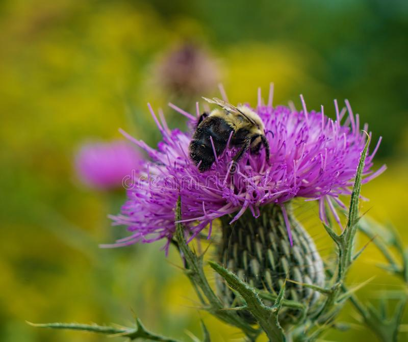 Honey Bee Feeding on a Bull Thistle. In a mountain meadow located on the Blue Ridge Parkway, Virginia, USA stock images