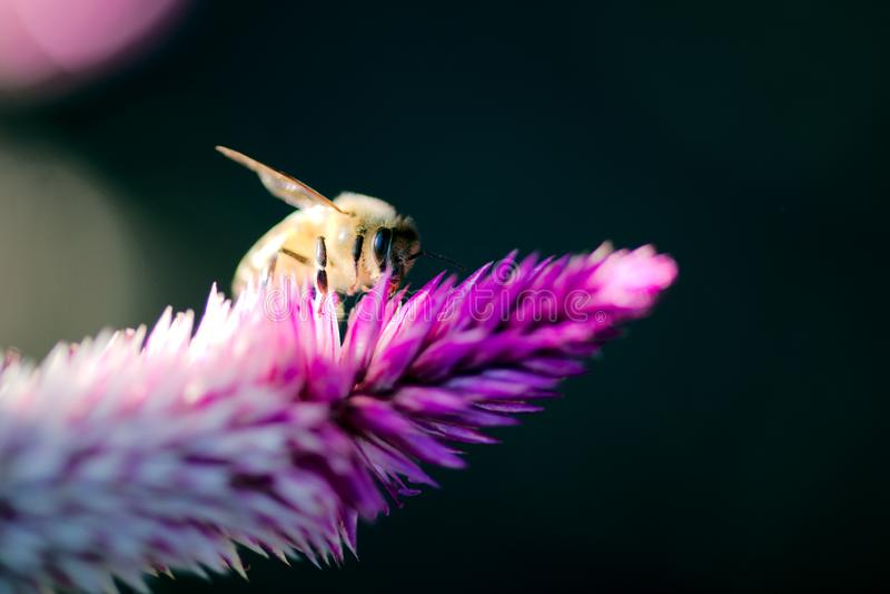 Honey Bee Feeding en Pampa Plume Celosia Mix foto de archivo libre de regalías