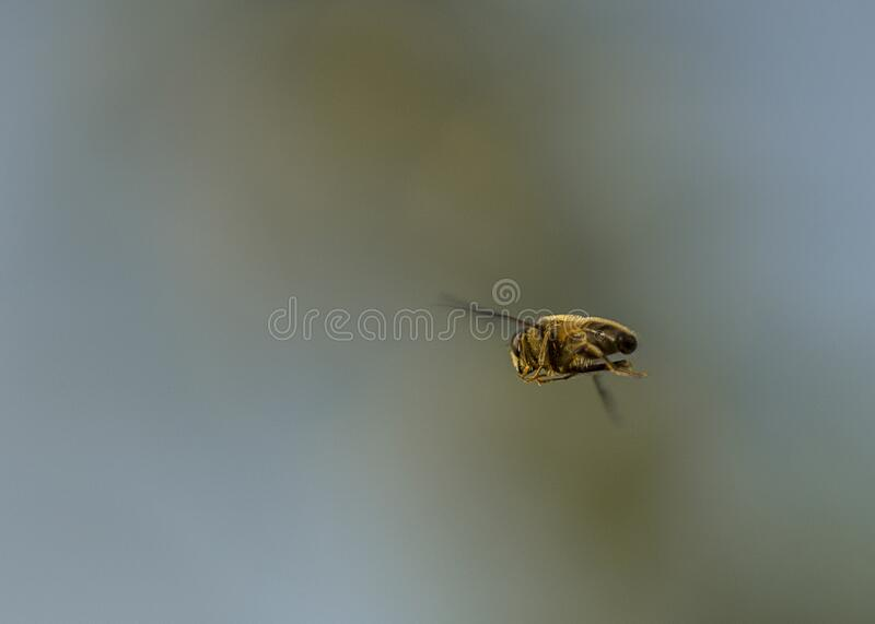 Honey bee in flight. Close up shot of honey bee during a flight symbolising freedom and purpose of direction stock image