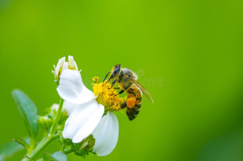 Honey bee and flower, background, insect stock photo