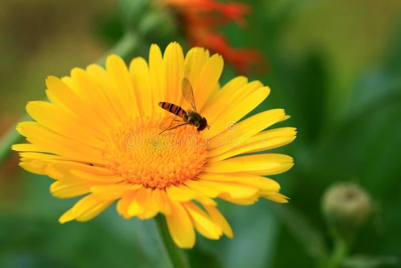 Honey bee and flower. Beautiful shot of honey bee sucking flower nector stock photos