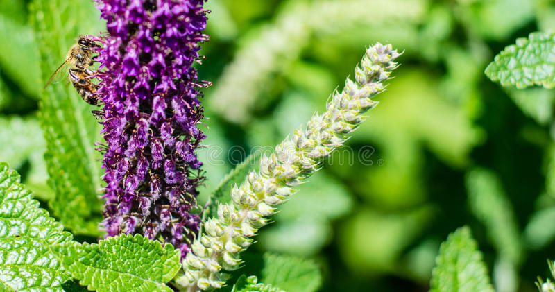 Purple flower and a bee close up photography. Macro photo with insect isolated. Photography flower and honeybee details. Bees flying stock images
