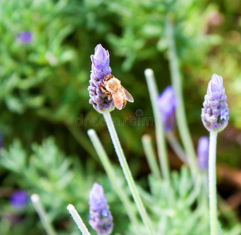 Honey bee on flower stock photography