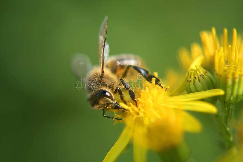 Honey Bee on flower. Honey bee feeding on ragwort flower royalty free stock image