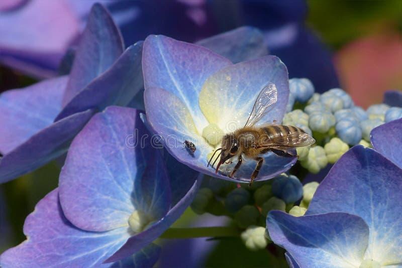 Honey Bee, Bee, Flower, Flora stock photography