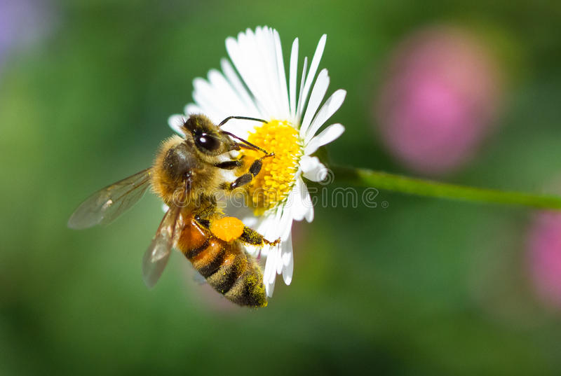 Honey Bee on a Flower. A honey bee looks for food on a tiny daisy flower. Victoria, Australia royalty free stock images