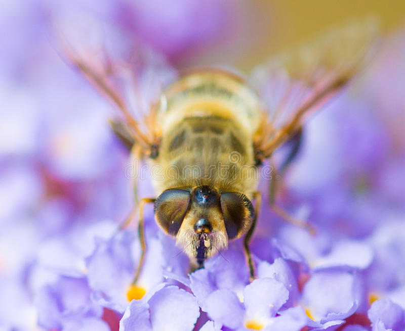 Honey bee on flower. Macro front head, eyes of a honey bee on a purple buddleia flower royalty free stock photo