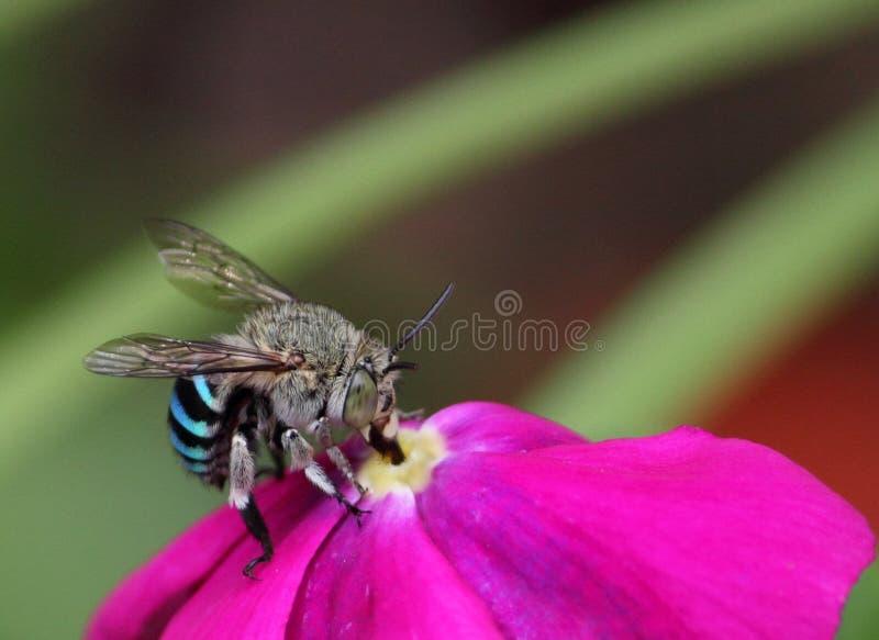 Honey bee on flower royalty free stock image