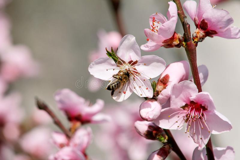 Honey bee on flower peach blossom, spring season. tree blossoms fruit. Flowers, buds, and branches of peach tree, in springtime. stock photos