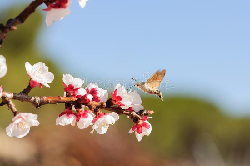 Honey bee fly in almond flower, bee pollinating almond blossoms.  stock photos