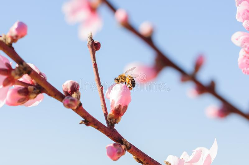 Honey bee fly in almond flower, bee pollinating almond blossoms.  royalty free stock photography
