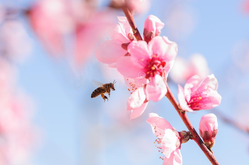Honey bee fly in almond flower, bee pollinating almond blossoms.  royalty free stock images