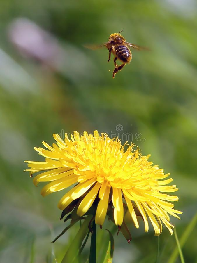Honey Bee and Dandelion stock images