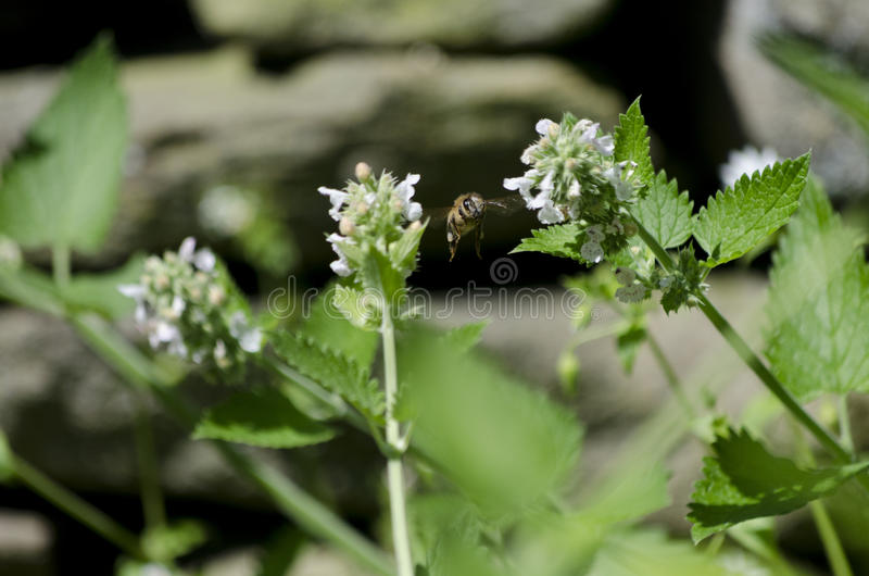 Honey Bee Flying Among Catnip Flowers royalty free stock image