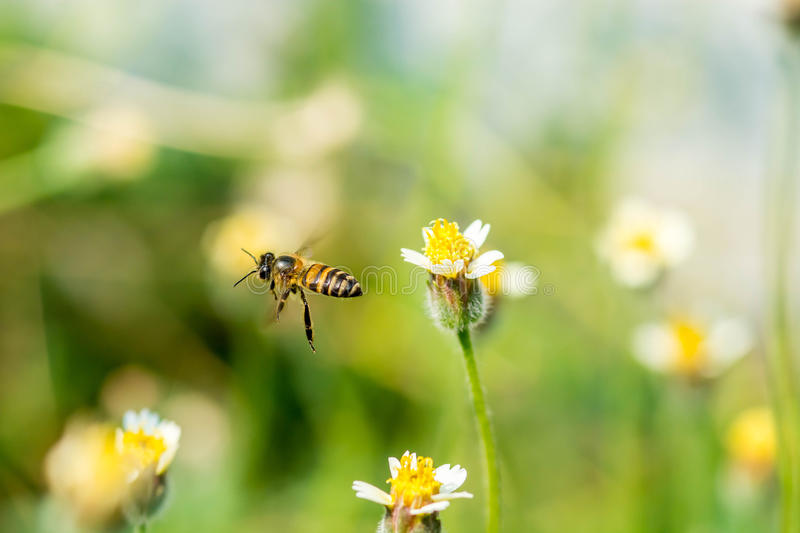 Honey Bee flying to the flower stock images