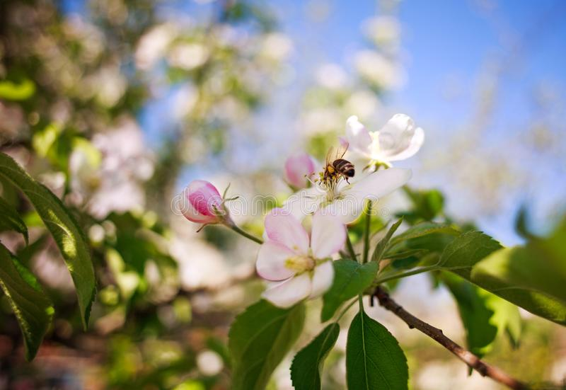 Honey bee in garden collect nectar from flowers of blooming tree royalty free stock image