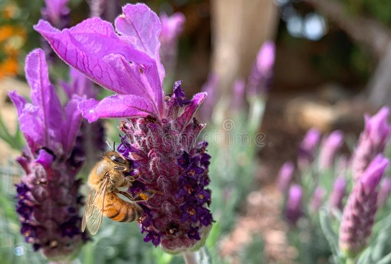 Honey Bee Gathering Lavender Nectar images libres de droits
