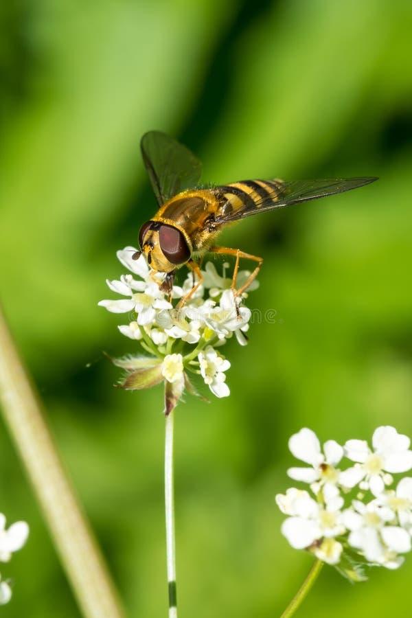 Honey Bee Gathering Nectar dai piccoli fiori bianchi immagine stock