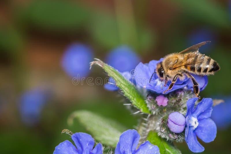 Honey Bee Gathering Nectar de las pequeñas flores azules imagenes de archivo