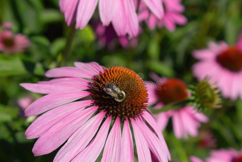 Honey Bee Gathering Nectar de una Susan observada negro imagenes de archivo