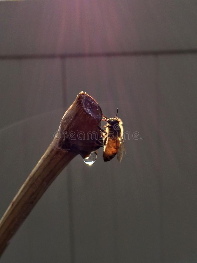 Honey Bee on Grapevine in Early Spring stock photography