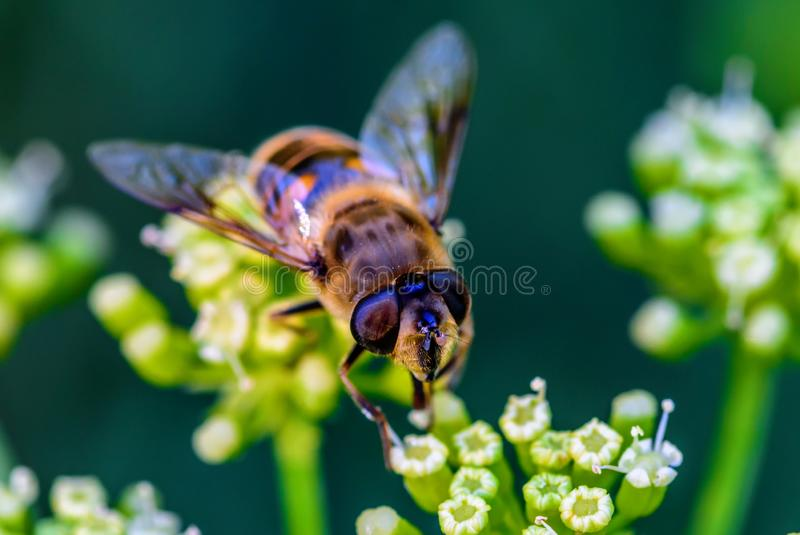 Close up photo of honey bee and green and white flower. Close up or macro photo of honey bee and green and white flower royalty free stock photography