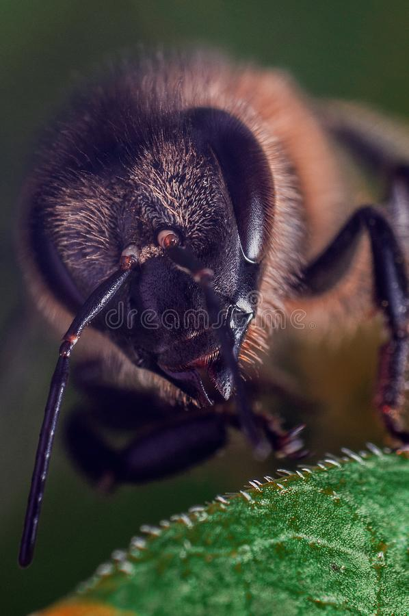 Honey bee on a green leaf stock photography
