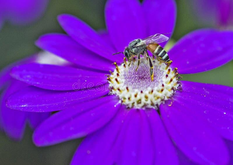 Honey Bee. Honeybee collecting nector from flower stock photo