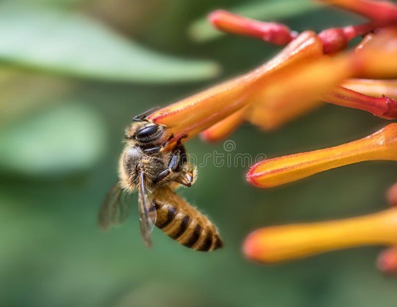 Honey Bee. Honeybee collecting nector from flower stock photography