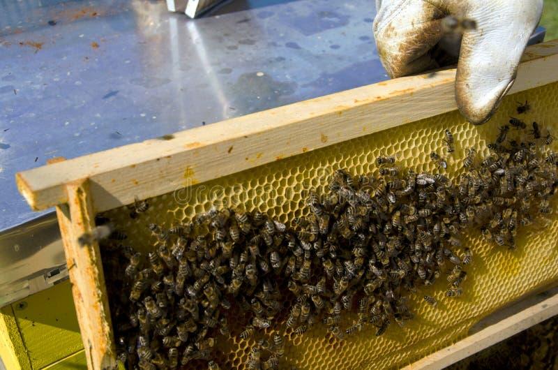 Honey bee on honeycomb royalty free stock photography