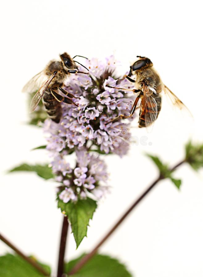 Honey bee and hoverfly are sucking nectar from blossom of lemon balm. Macro. Melissa officinalis. Apis mellifera royalty free stock image
