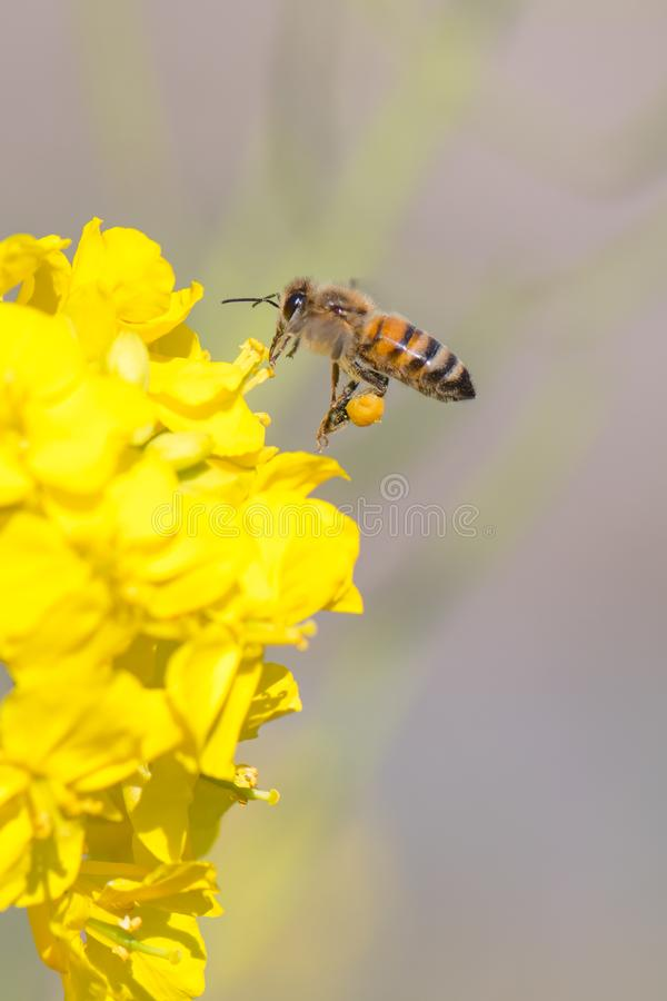 Honey bee hovering royalty free stock images