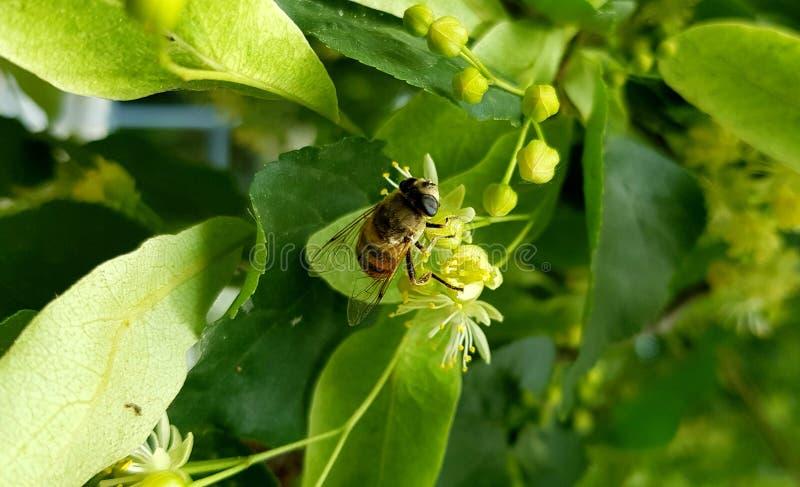 Honey Bee i löst liv royaltyfria bilder