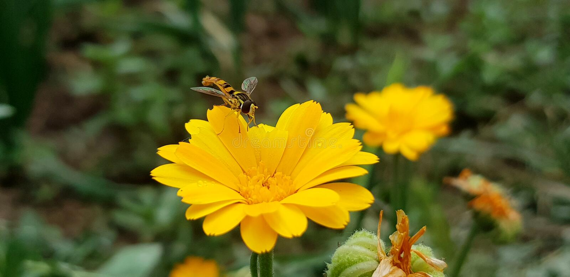 Honey Bee i löst liv arkivbilder