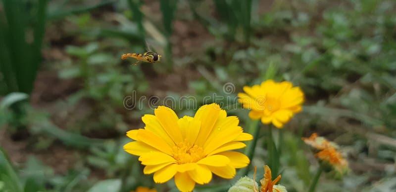 Honey Bee i löst liv royaltyfri fotografi
