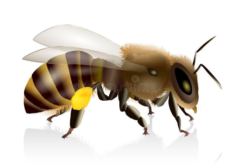 Honey Bee Illustration. Natural closeup illustration of a honey bee stock illustration