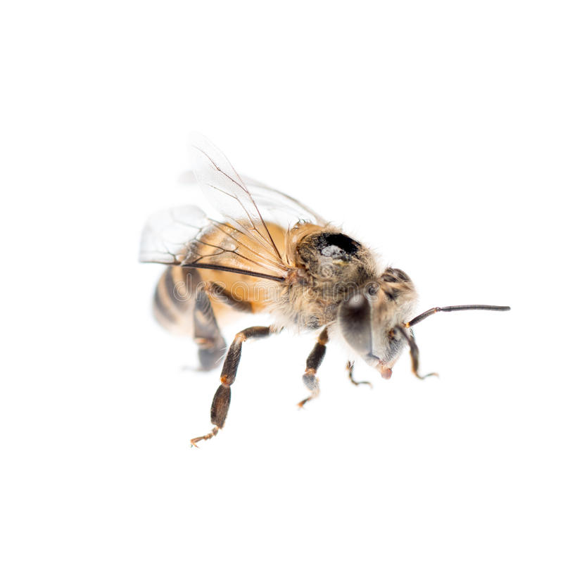 Free Honey Bee Isolated Royalty Free Stock Images - 37070789