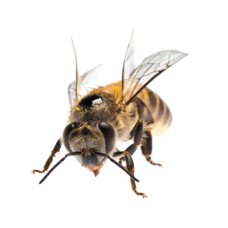 Honey bee isolated stock image