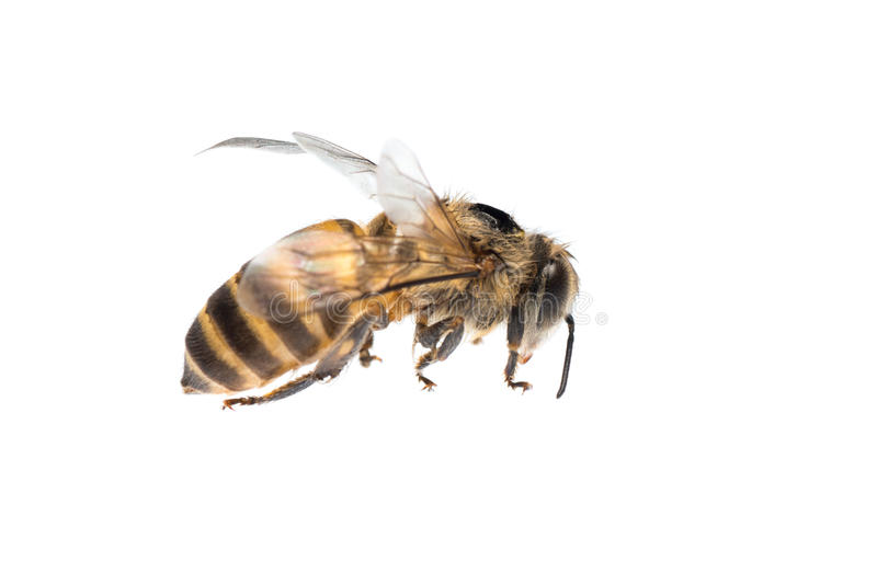 Honey bee isolated royalty free stock photo