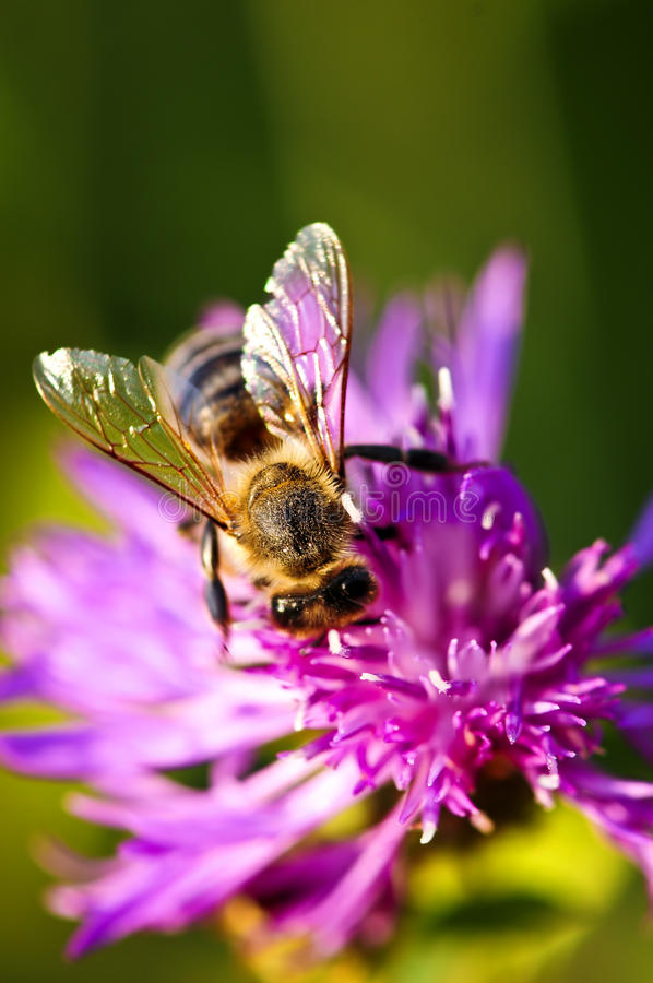 Honey bee on Knapweed royalty free stock photography