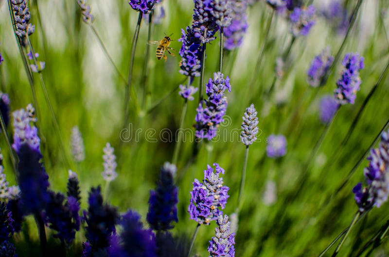 Honey bee in lavender field. Honey bee on lavender pollinating flowers stock images