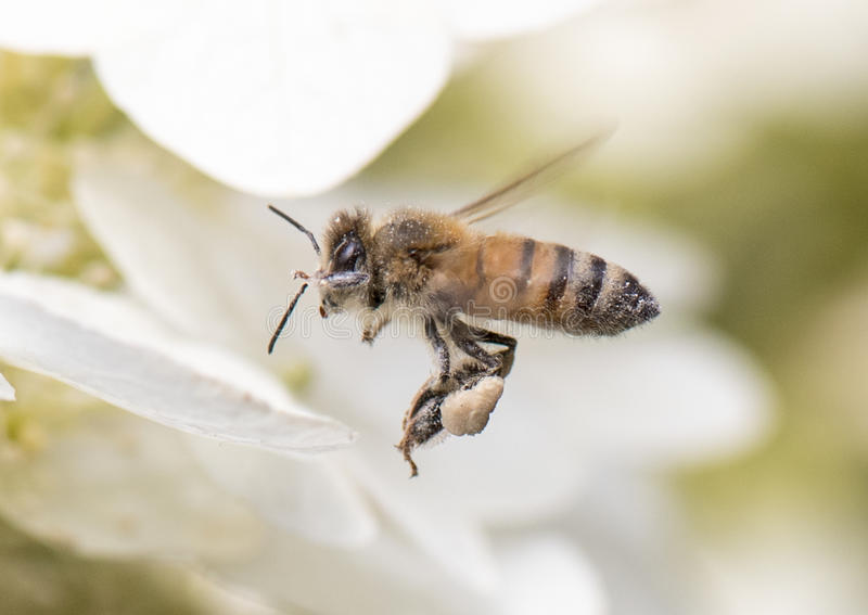 A honey bee loaded with pollen. Hovers over a white flower stock photos