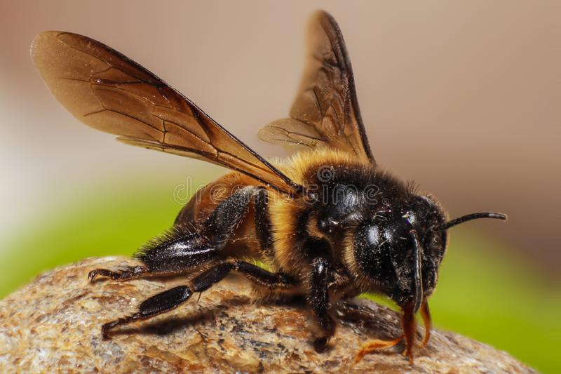 Honey bee macro with details. Honey bee  photo taken as macro shot tried to show maximum details stock image