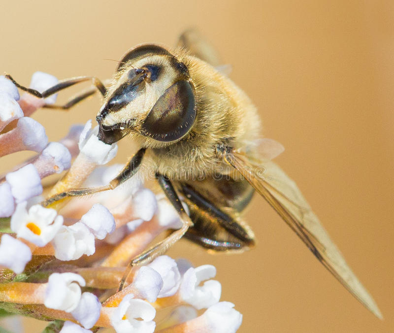 Honey bee macro. Honey bee / honeybee macro drinking nectar from Buddleia flower stock image